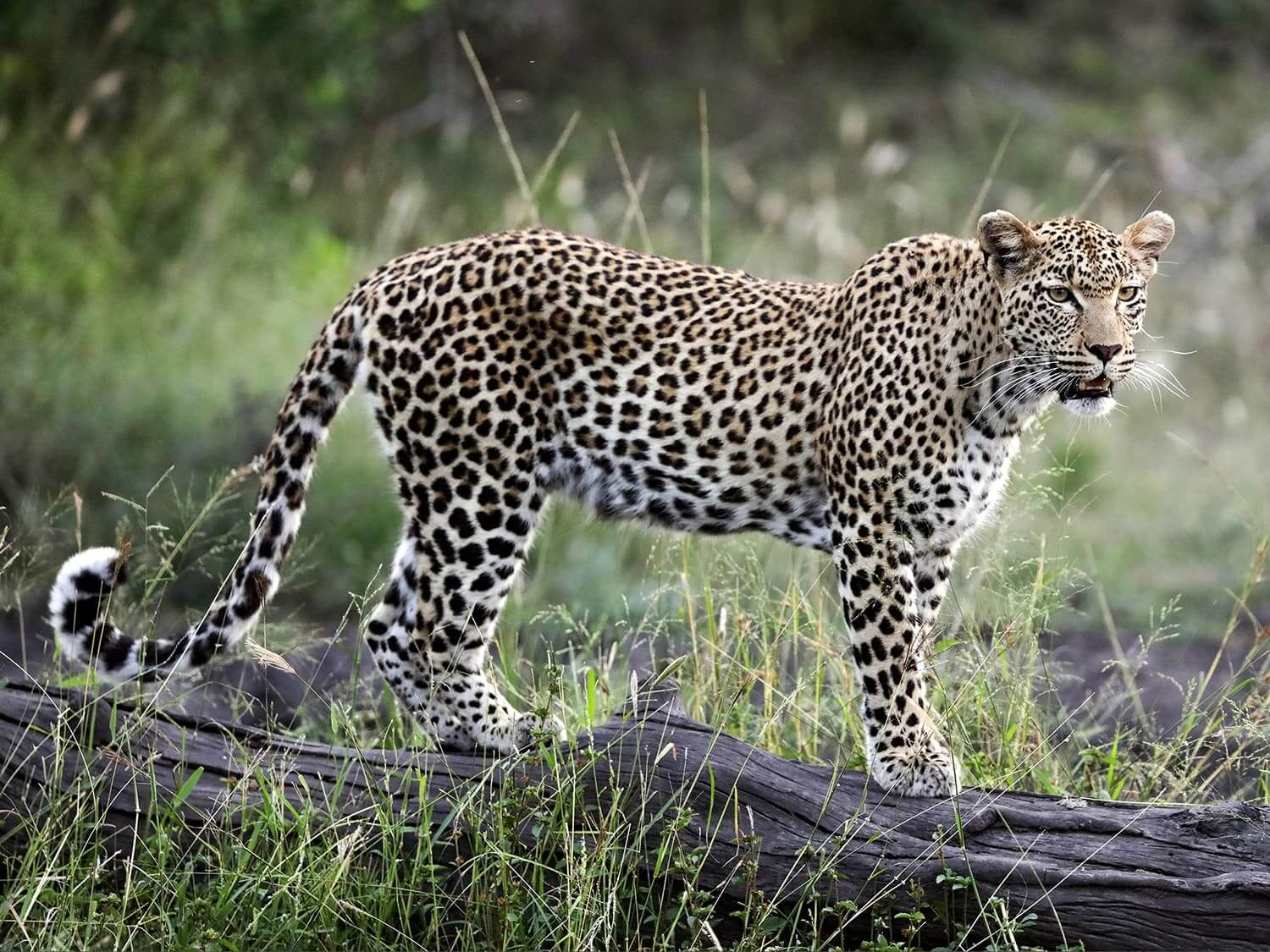 Magnificent leopard standing on a dead tree trunk at Londolozi Private Game Reserve, South Africa.