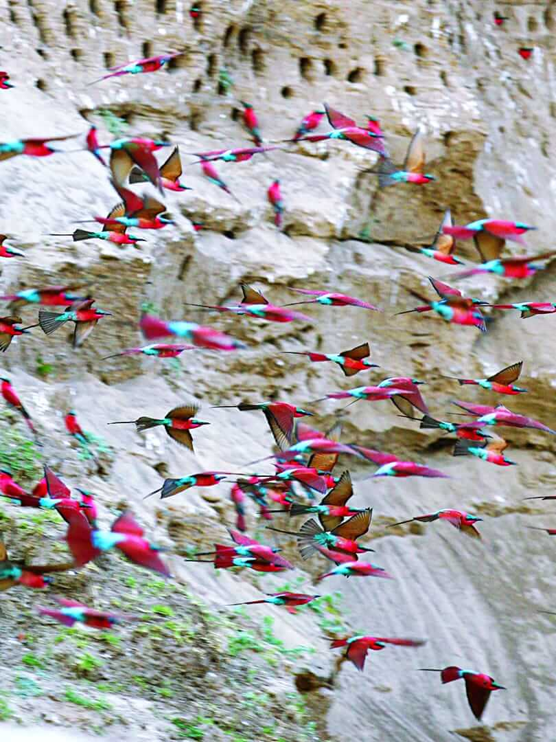 Flock of mesmerising carmine bee eaters in Zambia. Photo by Elsa Young.