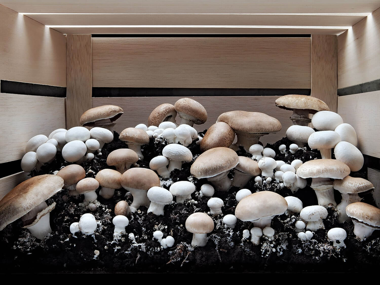 A lot of mushrooms growing in a wooden box. Photo by Elsa Young.