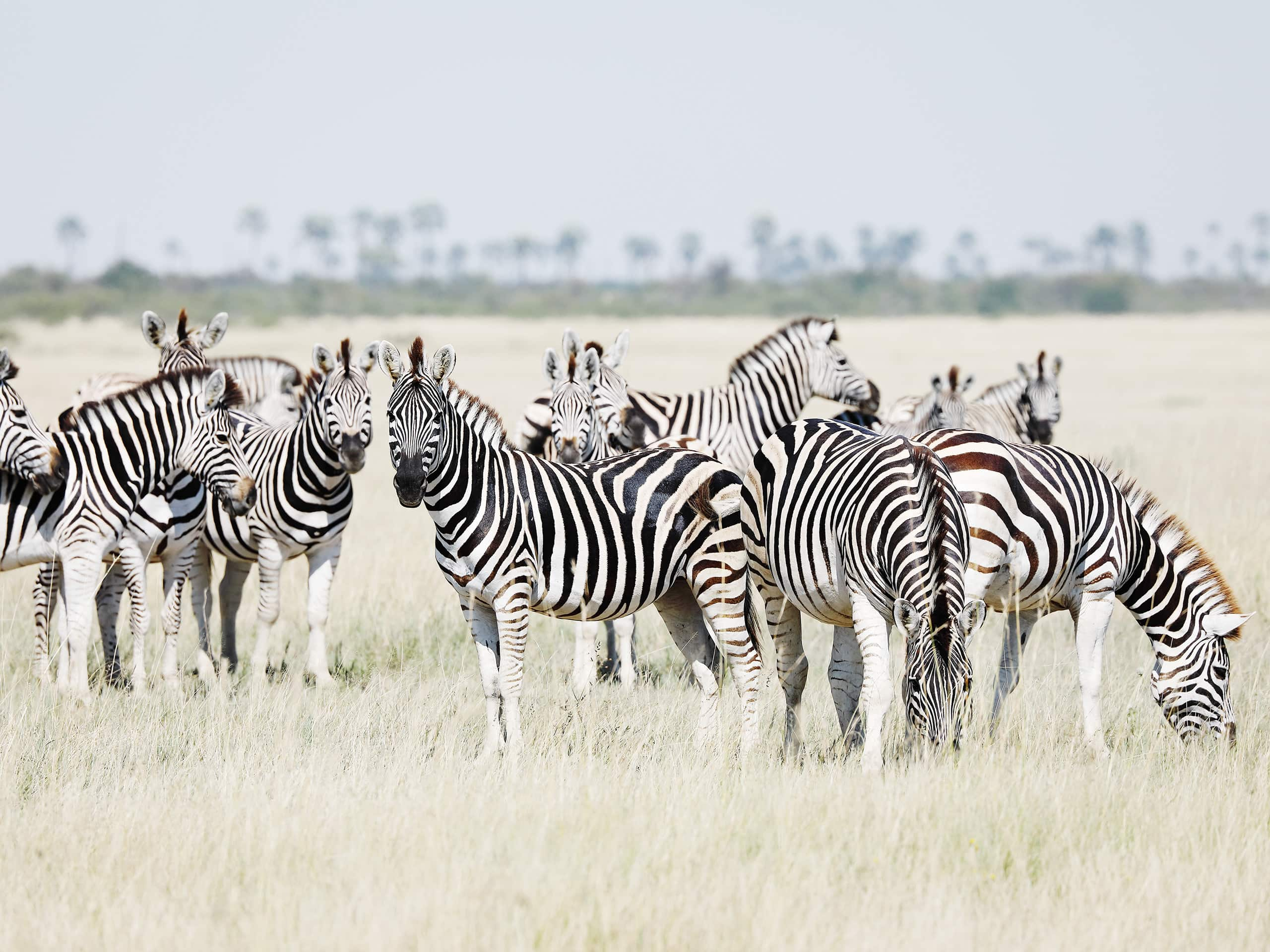 Herd of zebras grazing on the plains of Botswana. Photo by Elsa Young.
